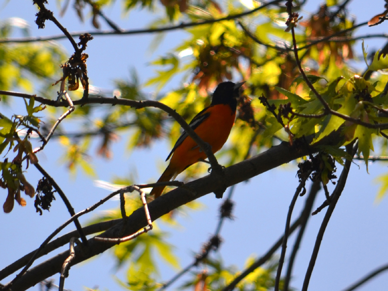 SNAPSHOT - Sunday afternoon visit from a Baltimore Oriole